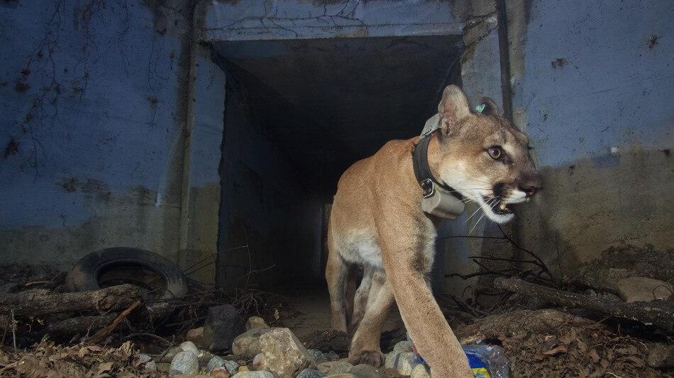 Kaliforniya Yangınından Sonra Sevilen Otoyol Geçişli Dağ Aslanı Ölü Bulundu