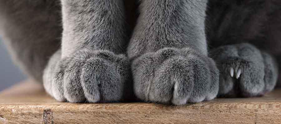 Kedi pençesi